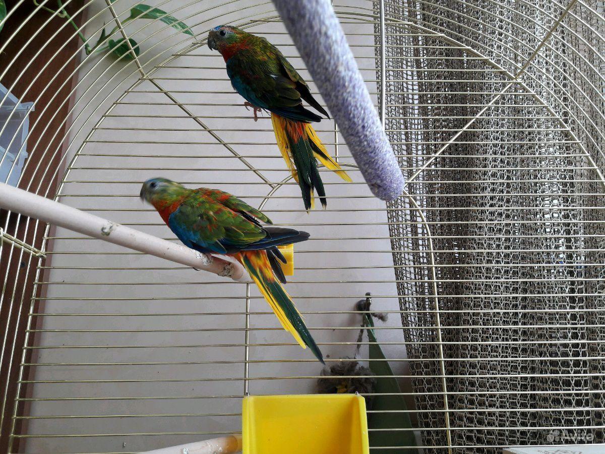 Травянистые попугаи