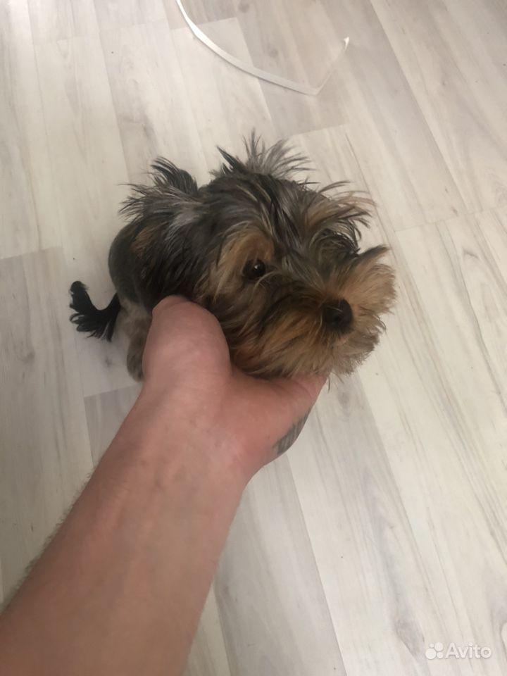 Продаю щенка (мальчик)