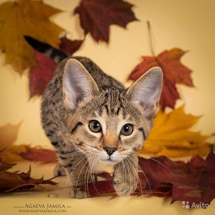 Котята саванна ф4 - фотография № 6