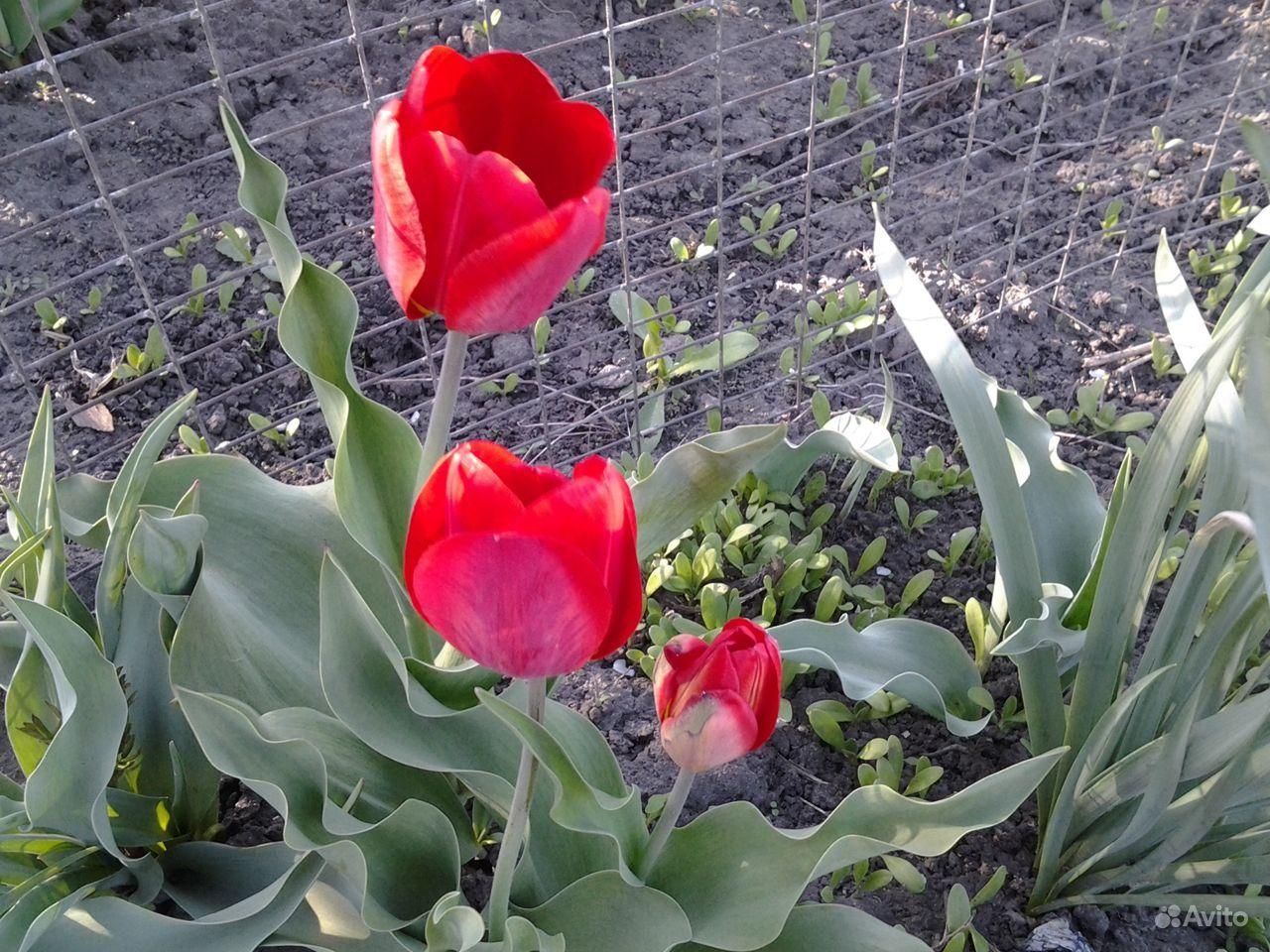 Продаю луковицы тюльпанов купить на Зозу.ру - фотография № 5