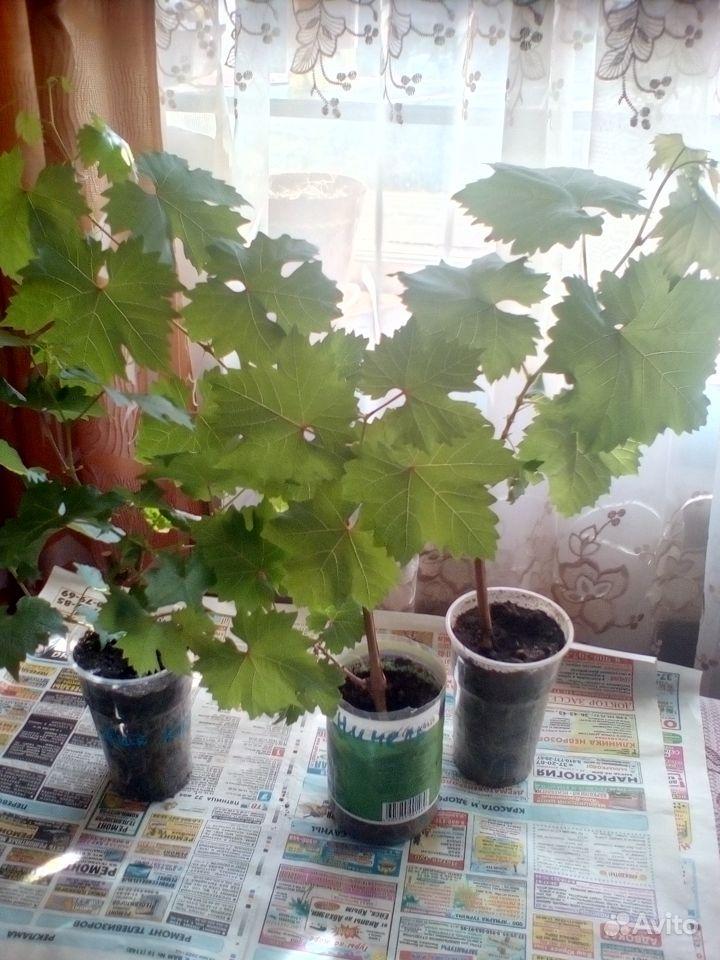 Саженцы винограда меняю на цветы купить на Зозу.ру - фотография № 1