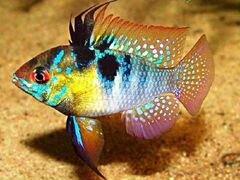 Рыбки Апистограмма Рамирези