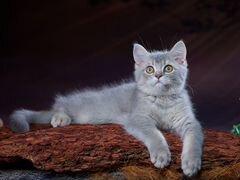 Котята Британской кш