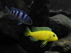 Аквариумные рыбки, Цихлиды Ломбардо