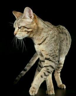 Котята породы саванна