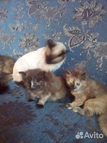 Куплю котёнка в улан-удэ