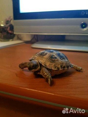 отдам сухопутную черепаху в хабаровске можно классифицировать