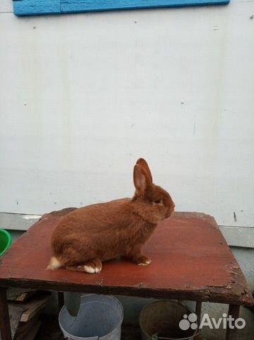 Племенные кролики 89065705365 купить 10
