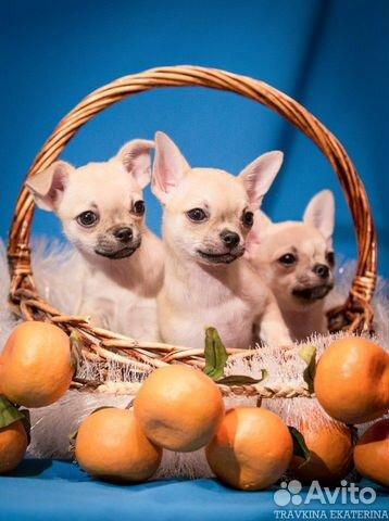 Чихуахуа щенки купить на Зозу.ру - фотография № 1
