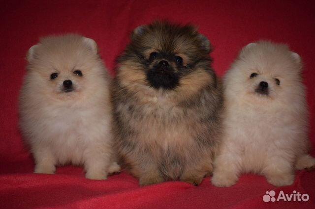 Очень красивые щенки померанского шпица купить на Зозу.ру - фотография № 6