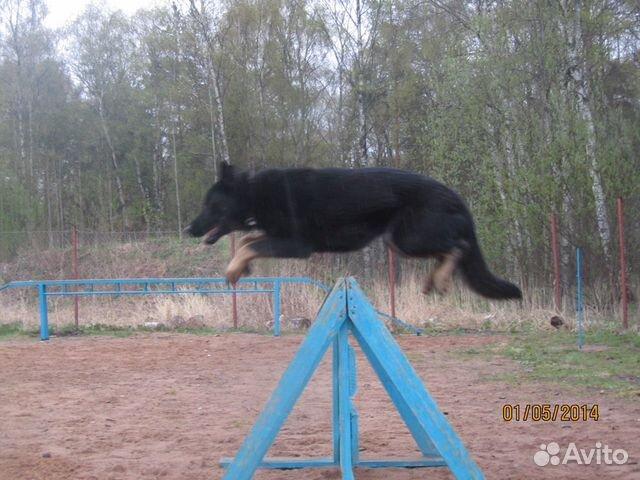 Щенок немецких овчарок рабочего разведения купить на Зозу.ру - фотография № 9