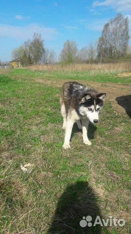 Собака 1,5-2 года 89502469168 купить 2