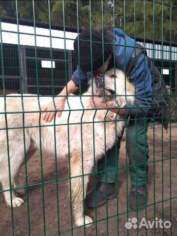 Горшая пиренейская собака в добрые руки, близкий м купить 1