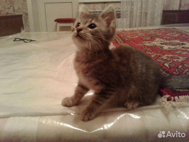 Котенок серого окраса (2 мес.)