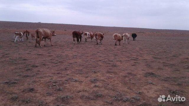 Корова с телятами и без телят