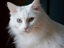Кастрированный кот Турецкий