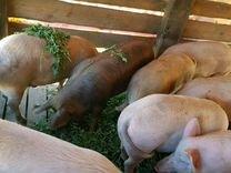 Свиночки на племя