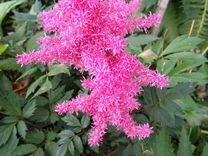 Хоста,астильба розовая
