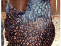 Куры барневельдер и др. Инкубационное яйцо. Цыплят
