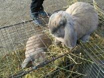 Кролики, порода французский баран