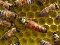 Пчеломатки Бакфаст
