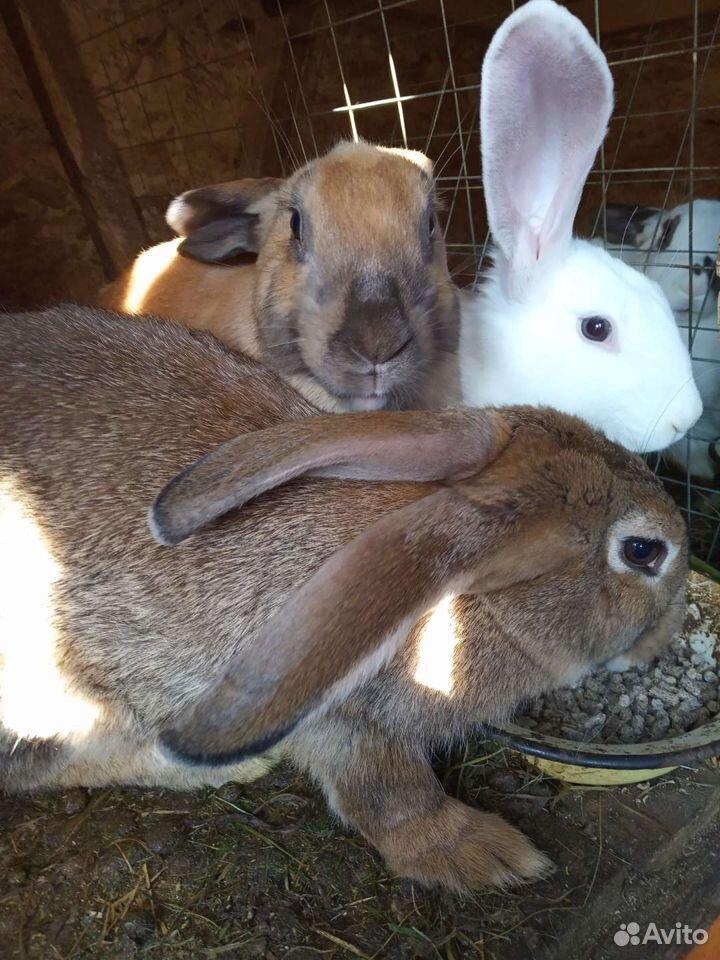 Кролик  89043585223 купить 4