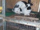 Кролики немецкий пёстрый великан новозеландский кр