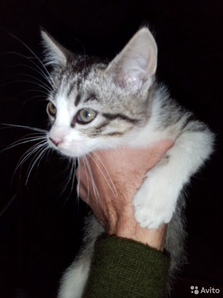 Кошка  89216177897 купить 2