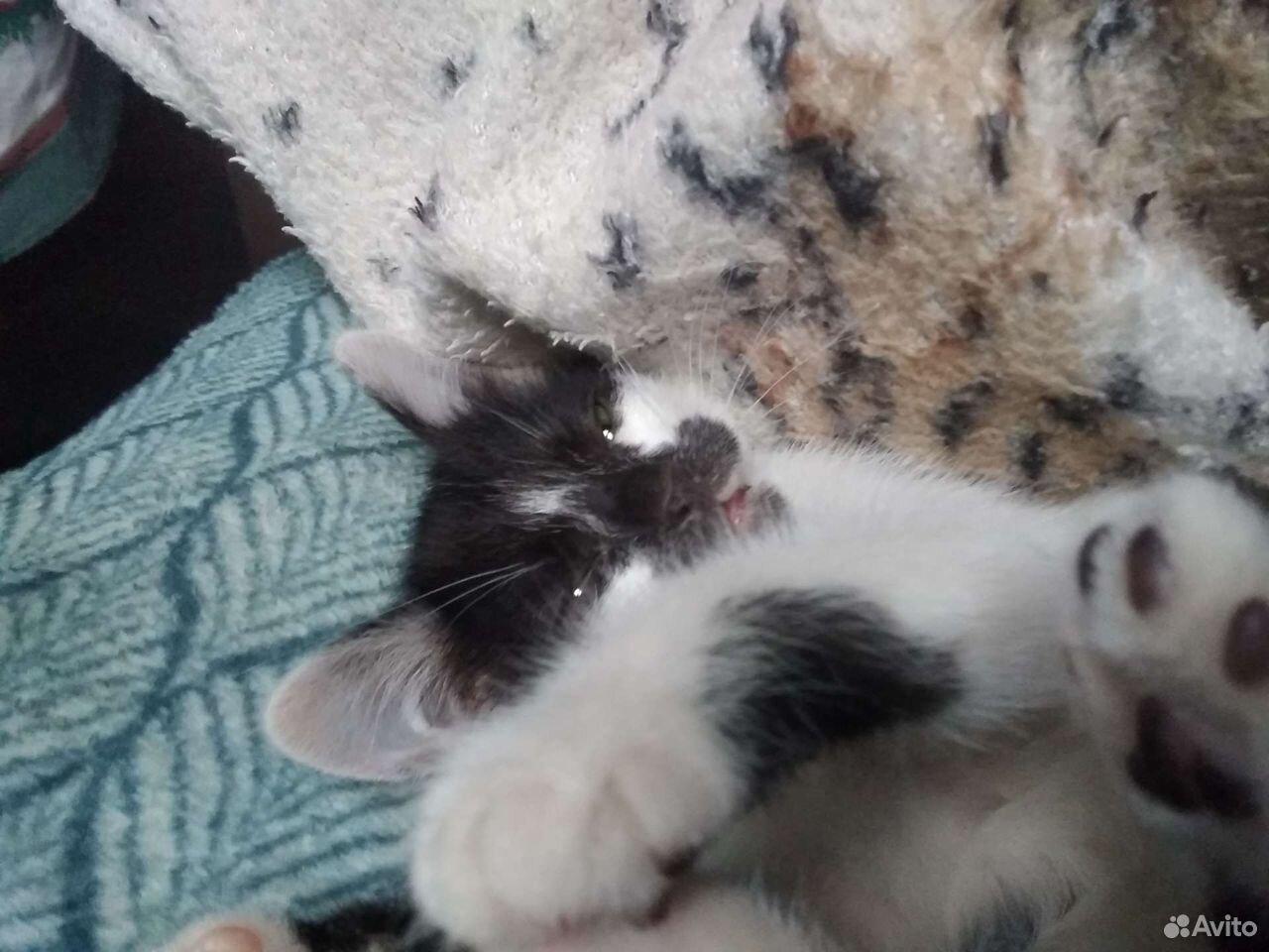 Кошка, 4 недели  89880521679 купить 1