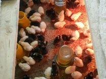 Куры молодки Цыплята бройлеров, несушек