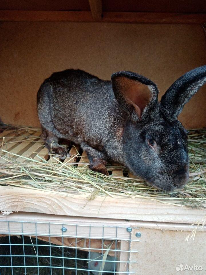 Продаются кролики  89058524280 купить 4