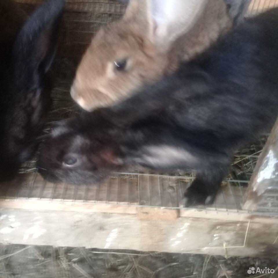 Rabbit  89780050198 buy 4