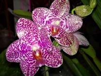 Продам орхидею Super Stupid Carmela f2 x Gigantea