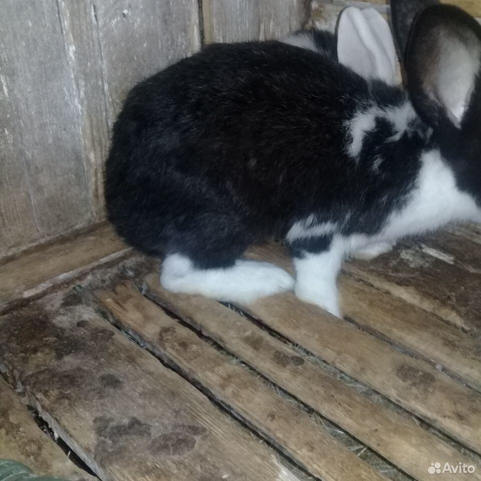 Rabbit  89780050198 buy 6
