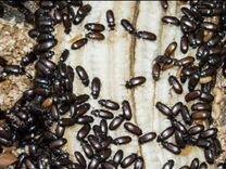 Жук Знахарь (жук чернотелка) от 100 шт