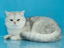 Кот голубое серебро 1.5 года